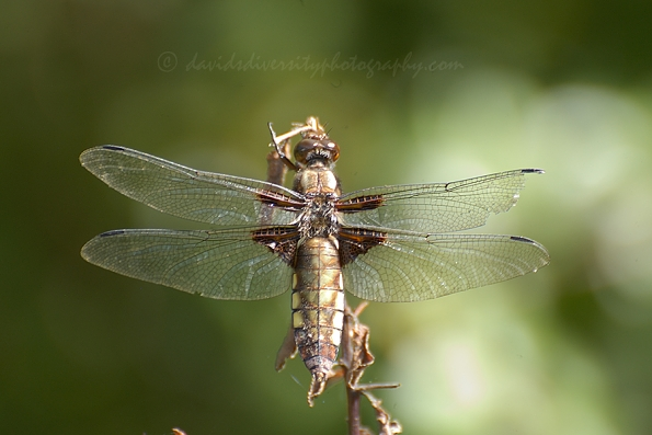 Broad-bodied chaser female in Dorset 2015