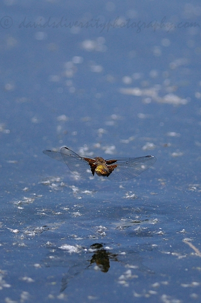 Broad-bodied chaser, Dorset 2016, female in flight from behind