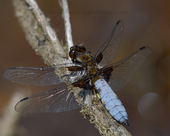 Broad-bodied chaser dragonfly, male, Dorset 2016