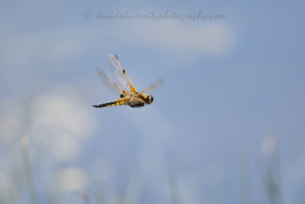 Four-spotted chaser in flight, Dorset
