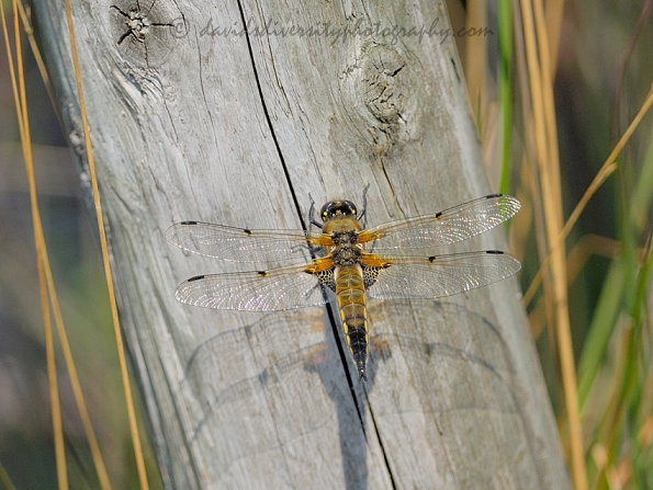 Four-spotted chaser resting on post, Dorset