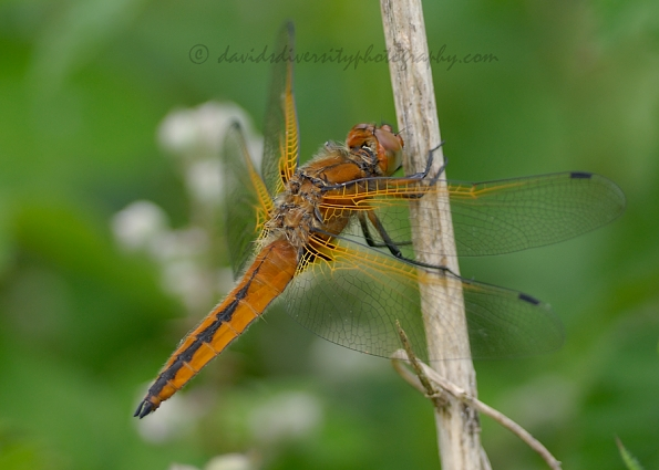 female scarce chaser dragonfly, Libellula fulva, Dorset, close side view
