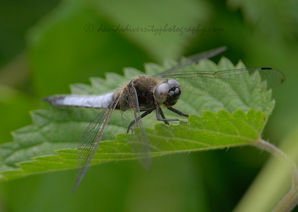 Male scarce chaser dragonfly, Libellula fulva, Dorset