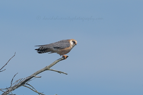 Red-footed falcon perched near-by, Dorset