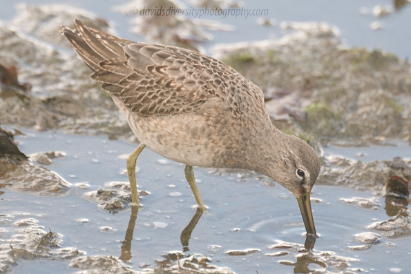 Long-billed dowitcher, 1st winter, probing mud, Dorset